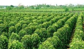 Chính chủ cần bán trang trại cafe, hồ tiêu gần trung tâm Quảng Phú - Đắk Lắk