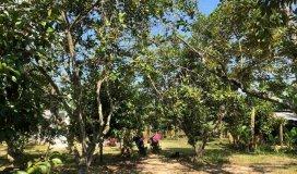 Chính chủ chuyển nhượng 13 ha đất trồng cây ăn trái đang khai thác tại Ninh Sơn - Ninh Thuận