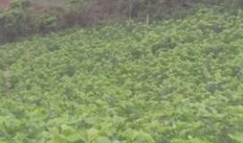 Cần cho thuê đất vườn dâu Nuôi Tằm DT 20.000m2